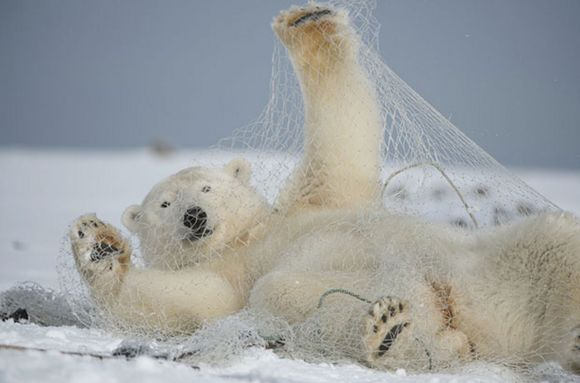 Polar-Bear-in-Fishing-Net-MAIN